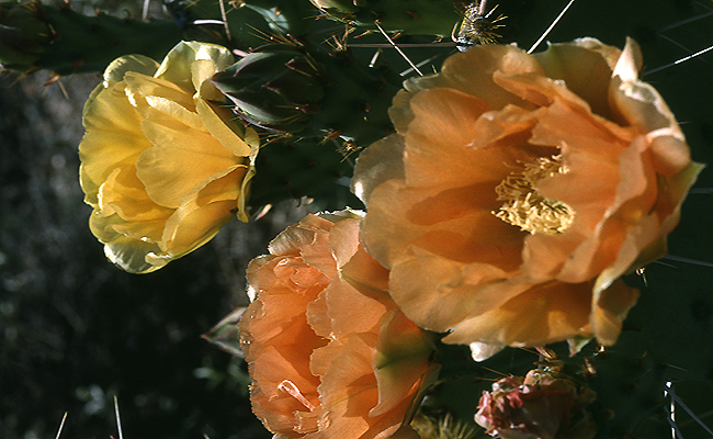 Prickleypear 08