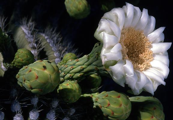 Suguaro 33